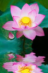 Fototapete - Beauty lotus flower.