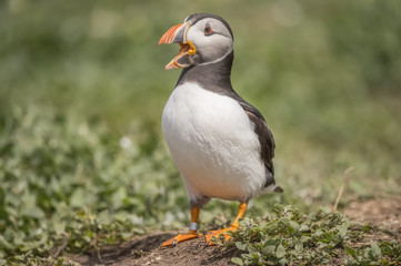 Puffin, Fratercula arctica, standing and squawking