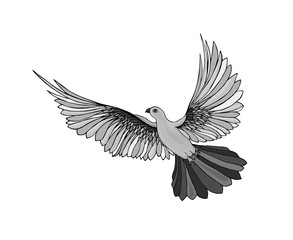 Dove in free flight. Isolated on white background.