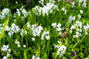 White galanthus with green