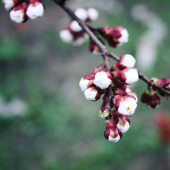 White plum buds. Blooming. Spring season.