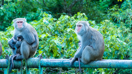 Funny monkeys A funny monkey lives in a natural forest of Taiwan