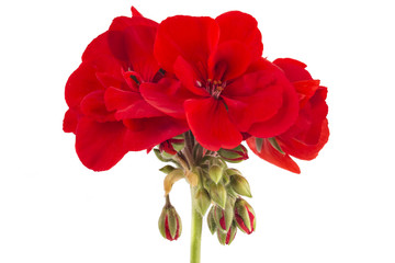 Red garden Geranium Pelargonium flowers isolated on white background