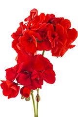 Red garden Geranium Pelargonium flowers isolated on white background