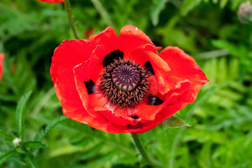 Beautiful large red poppy flower