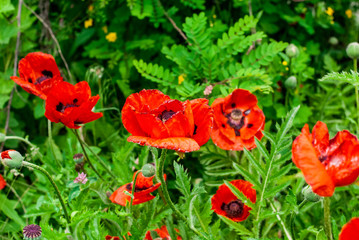 Delicate and beautiful red poppy flowers