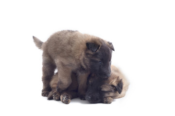 Tuinposter Buffel Two puppy's, Belgian Shepherd Tervuren, isolated