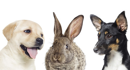 gray rabbit and puppies on a white background