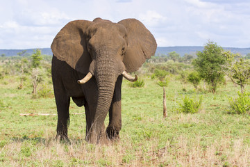 Poster Olifant Big elephant bull with large tusks approaching over a plain