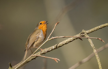 Robin, redbreast, Erithacus rubecula, perched on a twig, tweeting