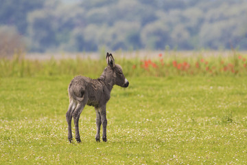 Baby donkey on the meadow