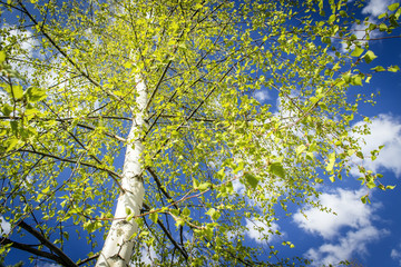 natural background - birch trees with green leaves in fores