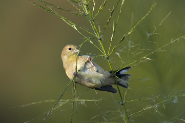 An American Goldfinch feeding on wild rice as the soft sunlight shines on in front of a smooth green and brown background.