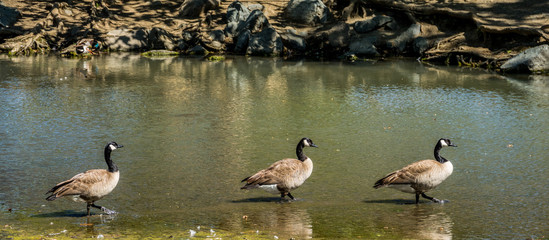 Three Geese in a Row