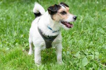 Portrait of standing cute Jack Russell Terrier pet dog
