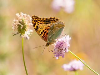 Butterfly Argynnis pandorain spring season