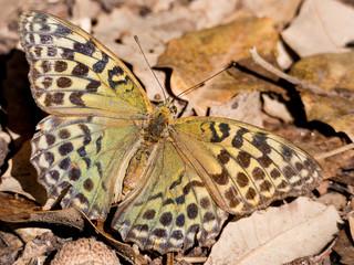 Butterfly Argynnis pandora in autumn season