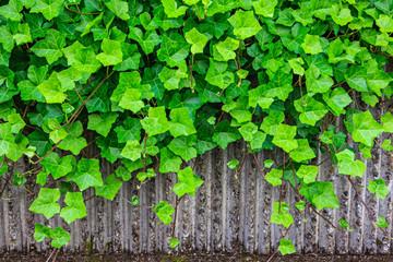 Hanging green ivy