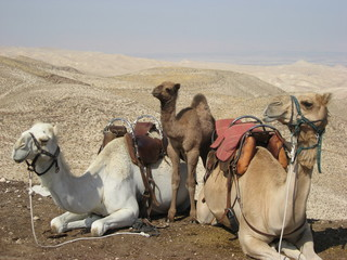 Three camels resting in desert in Israel