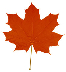 Maple Leaf isolated - Red