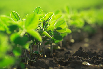 Fototapeten Lime grun Young soybean plants growing in cultivated field