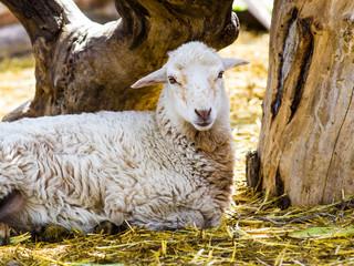 lamb. Farm animals lamb. Animal lamb. The animal farm lamb. Whit