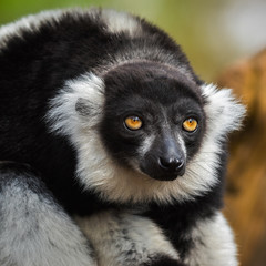 Portrait of an adult black-and-white ruffed lemur