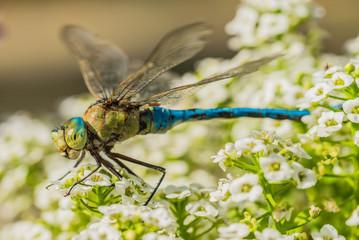 Libelle Insekt Blaugrüne Mosaikjungfer