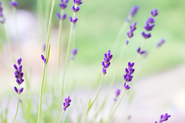 Lavender flowers on the background of herbs