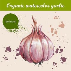 Vector watercolor hand drawn garlic with watercolor drops. Organic food illustration.