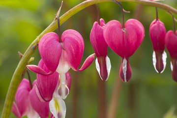 Pink Heart Plant