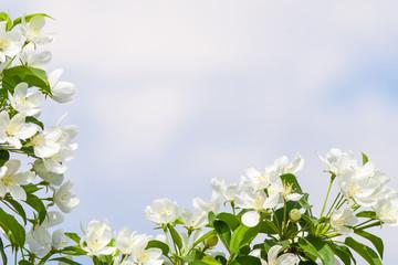Apple tree flowers In the beginning of spring