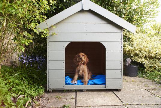 Portrait of Cocker Spaniel sitting in kennel