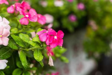 Flowers with rain drops in garden, West indian periwinkle, Catharanthus roseus, Vinca flower, Bringht Eye