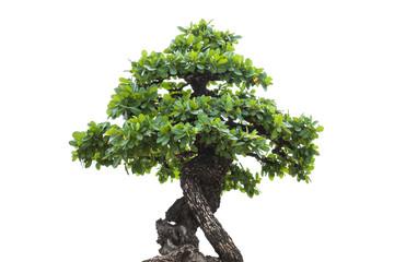 Small tree,bonsai tree