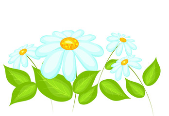 Daisy flowers isolated