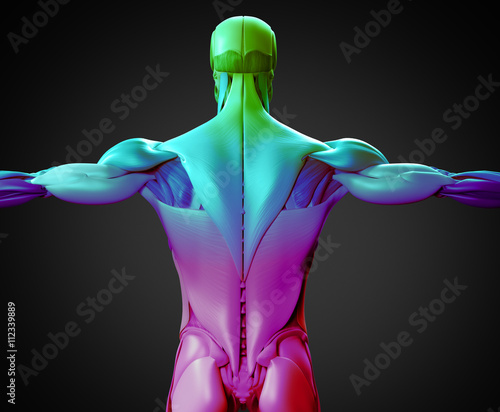 Human Anatomy Muscle Groups Torso Back 3d Illustration Stock