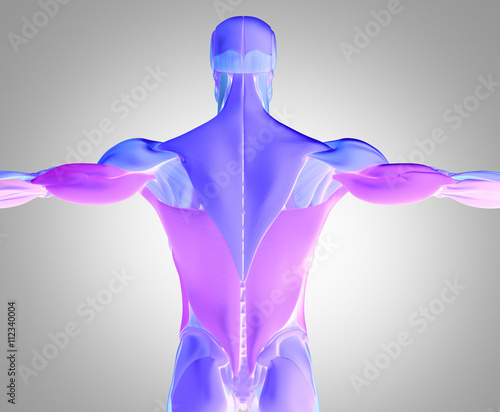 Human Anatomy Muscle Groups Torso Back Color Coded 3d