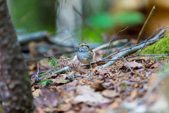 Crisp facial markings make the White-throated Sparrow an attractive bird as well as a hopping, flying anatomy lesson. They are common in northern Quebec where they breed in summer.