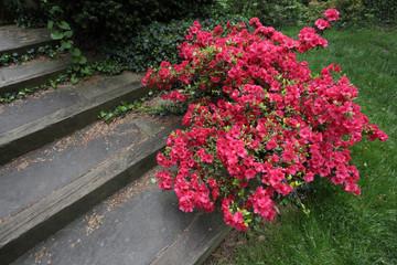 Red Azalea Bush & Steps