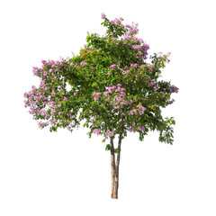Isolated Lagerstroemia speciosa tree with pink and purple flowers on white background
