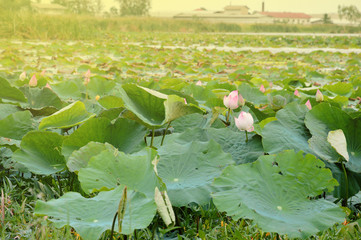 Waterlily,lotus with leaves float on the pond.