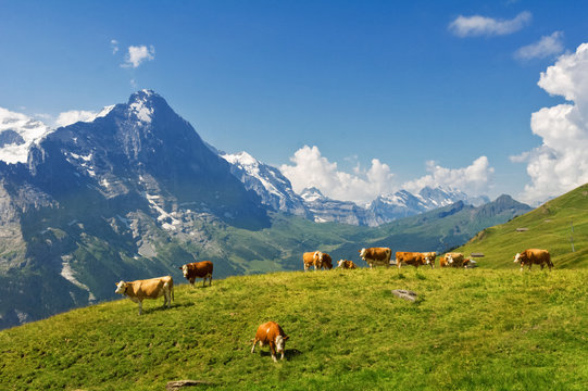 Beautiful idyllic alpine landscape with cows, Alps mountains  and countryside in summer, Switzerland