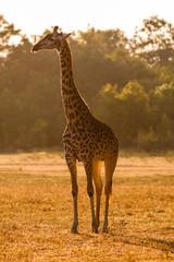 Wall Mural - Wild African Giraffe