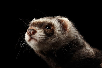 Closeup Portrait of Funny Ferret looking at the camera isolated on Black Background, Front view Wall mural