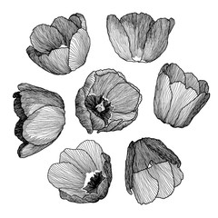 Vector graphic hand drawn ink set of tulip flowers in a linear style. Vintage. Drawn on paper and traced buds of tulips from different angles. For wedding, invitation, card design, textile, wrapping.