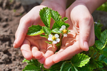 Children's hands carefully holding blossoming strawberry