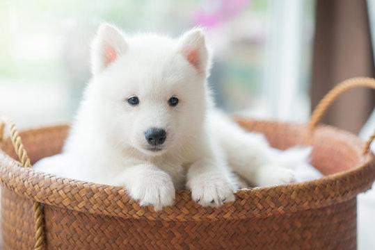 siberian husky puppy lying in a basket