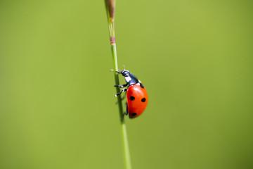Coccinella su un filo di erba verde