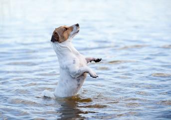 Wet dog jumping in water having fun at summer holidays